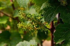 Vineyard. Near Wuerzburg, Franconia, Germany royalty free stock photos