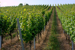 Vineyard. Near Wuerzburg, Franconia, Germany stock photos
