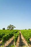 Vineyard. Beautiful vineyard and winery at Sonoma County, California Royalty Free Stock Images