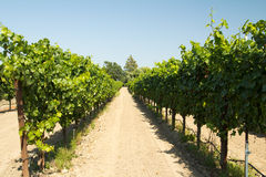 Vineyard Stock Photo