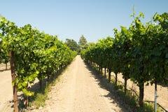 Vineyard. Beautiful vineyard and winery at Sonoma County, California Stock Photo
