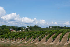Vineyard. Rows of grape vines used to make wine at a vineyard in northern Michigan Stock Image