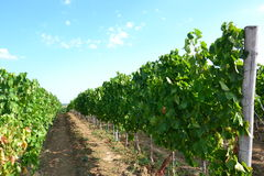 In the vineyard. Path between the vineyard rows with grapevine, view of more vineyard in the valley, summer sky and light wispy clouds landscape Stock Photos
