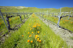 Vineyard. With bright colorful flowers and California poppies off Shell Road, near highway 58, Bakersfield, CA stock photography