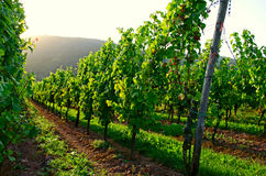 Vineyard. Fields in South Germany stock image