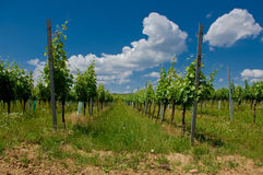 A vineyard. Stock Photography