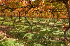 Vineyard. Cape Town area, South Africa Stock Photo
