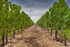 Vineyard. In southern France under cloudy skies Stock Photography