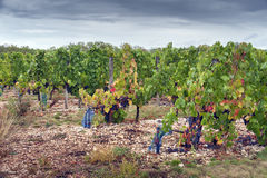 Vineyard. In southern France under cloudy skies Stock Images