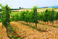 Vineyard. Rows and rows of grape vines planted neatly in a Tuscan vineyard stock images