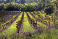 Vineyard. HDR photo of vineyard. Sonoma Valley, CA royalty free stock photos