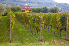 Vineyard. Near Verona, Italy, in autumn Royalty Free Stock Photography