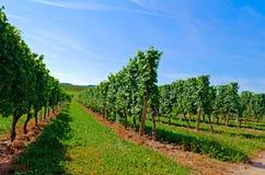 Vineyard. German Vineyard at the Mosel Royalty Free Stock Photo