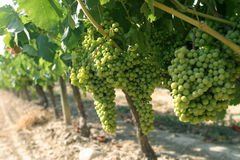 Vineyard. Grapes on the vine Stock Photo