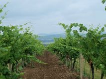 Vineyard. Landscape in the background. South Moravia royalty free stock photography