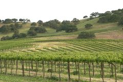 Vineyard 3. A vineyard in California's wine country Royalty Free Stock Photo
