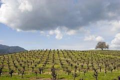 Vineyard 3 royalty free stock image