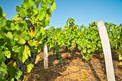 Vineyard. In beaujolais land. France Stock Photography