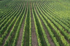Vineyard. The view of a vineyard in Germany Stock Photography