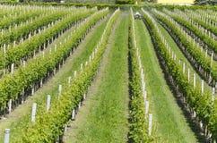 Free Vineyard Royalty Free Stock Photography - 31832467