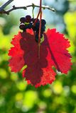 In the Vineyard Royalty Free Stock Photography