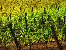 Vineyard. View of a vineyard in autumnal colors Royalty Free Stock Photo