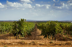 Vineyard. Field full of grapes ready to pick up and use it to do wine Royalty Free Stock Photography