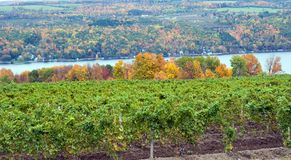 Vineyard. On Keuka Lake, with the lake and autumn trees in the background Royalty Free Stock Images