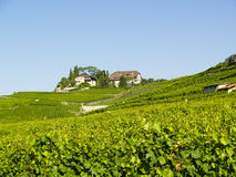 Vineyard. Big vineyard in france in background few buildings Stock Images