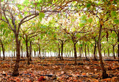 Vineyard Stock Image