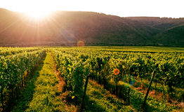 Vineyard. Fields in Southern Germany. Mosel area stock photography