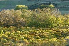 Vineyard. Field of grape vines or vineyard stock images