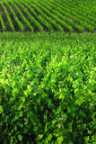 Vineyard. Rows of green grape vines in vineyard Royalty Free Stock Images