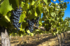 Vineyard. Row of grapevines with red grapes on a sunny day Royalty Free Stock Photography