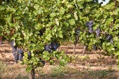 Free Vineyard Royalty Free Stock Images - 45120539