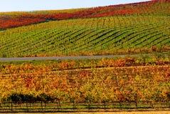 Vineyard. In California in Autumn royalty free stock image