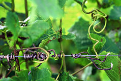 Vineyard. Close up detail of Grape Vine tendrils wrapped around wire in Vineyard royalty free stock image