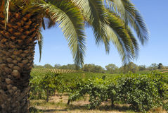 Vineyard. In the Barossa Valley in Australia royalty free stock image