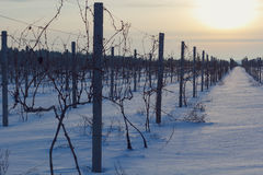 Free Vineyard Royalty Free Stock Photo - 48426345