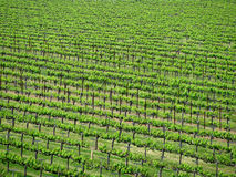 Vineyard. Near Santa Barbara, California Royalty Free Stock Photography