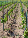 Vineyard. Young vineyard at spring   time Royalty Free Stock Photos