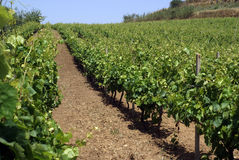 Vineyard. Rows of vines in vineyard in sicily - landscape stock photography