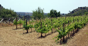 Vineyard. Young grape vines in Sicilian vineyard royalty free stock images