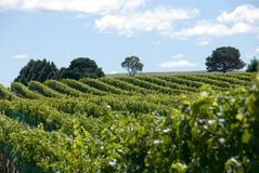 Vineyard Stock Photography