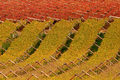 Vineyard. With beautiful autumn colors, Cape town area, South Africa royalty free stock photos