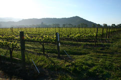 Vineyard. Sunrise over a vineyard in california Stock Photos
