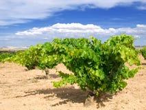 Vineyard. Traditional Spanish vineyard at summer Stock Photos