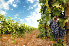 Vineyard. Photo of a vineyard landscape Stock Photography