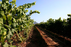 Vineyard. Rows of grape growing Vineyards stock images