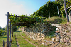 Vineyard. An Italian balcony vineyard, with stone wall and  grass street Stock Images